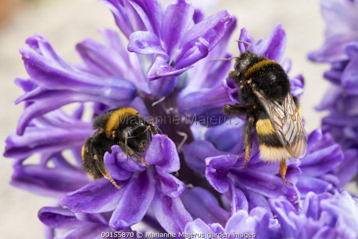 Bumblebees on Hyacinthus orientalis