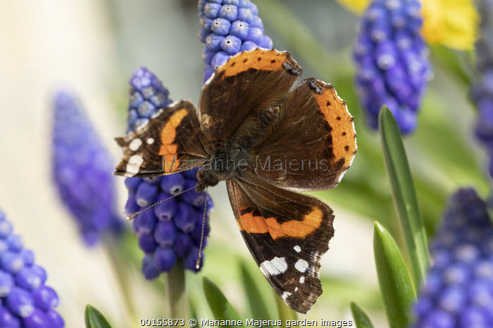Red Admiral butterfly Muscari 'Big Smile'
