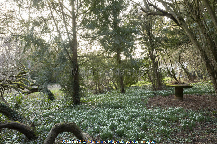 Moss-covered table in yew woodland surrounded by carpet of Galanthus nivalis