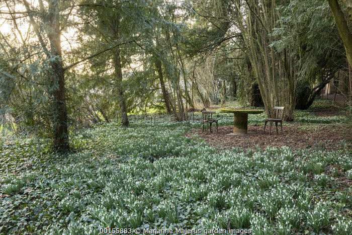 Wooden chairs and moss-covered table in yew woodland surrounded by carpet of Galanthus nivalis