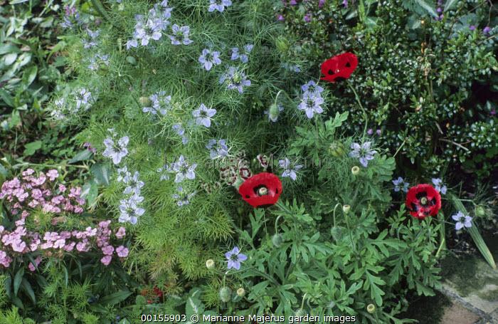 Nigella damascena, Papaver commutatum, dianthus