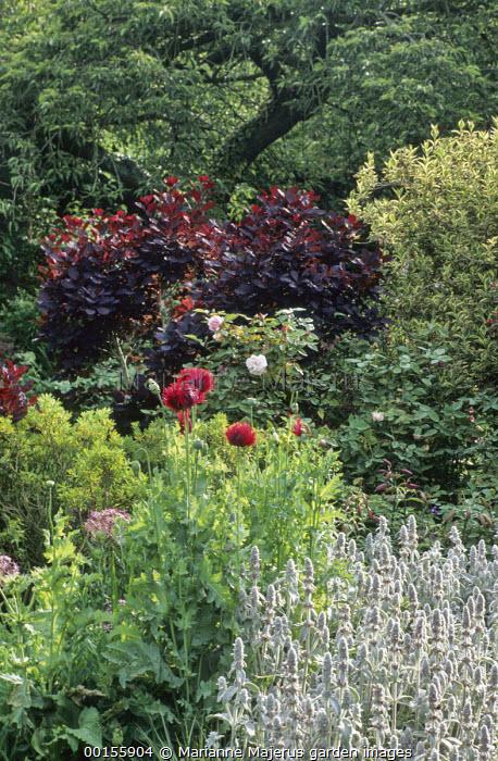 Papaver somniferum, Stachys byzantina, cotinus, roses, weigela