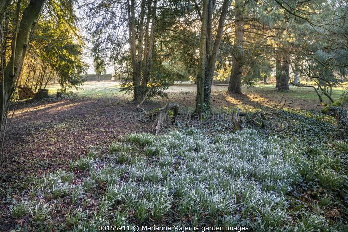 Carpet of Galanthus nivalis in yew woodland