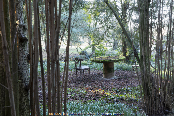 Wooden chairs and moss-covered table in woodland surrounded by Galanthus nivalis