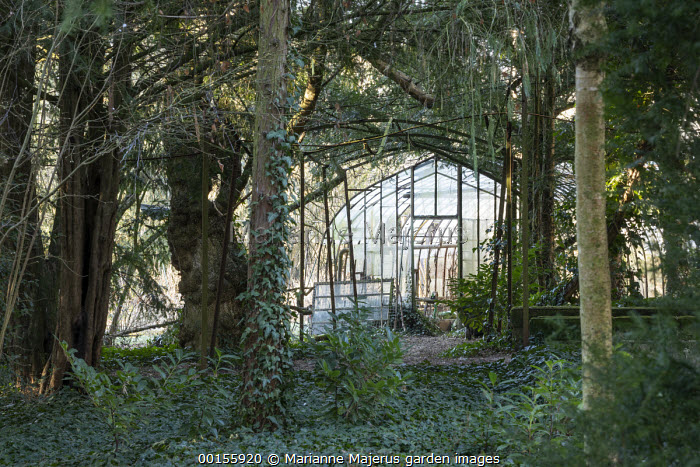 View through yew woodland to metal tunnel pergola and greenhouse