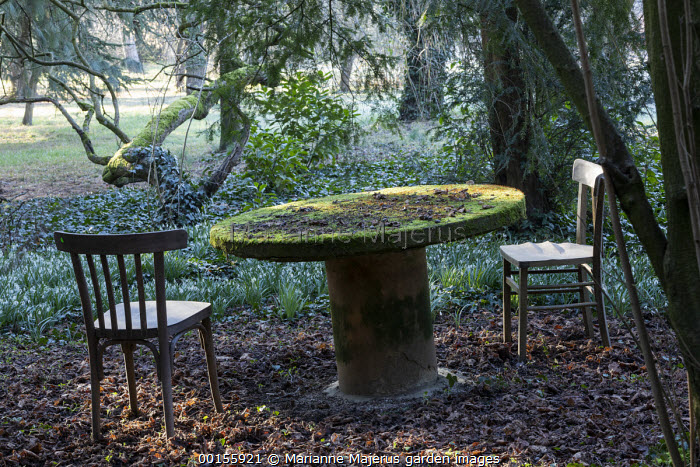 Wooden chairs and moss-covered table in yew woodland by Galanthus nivalis