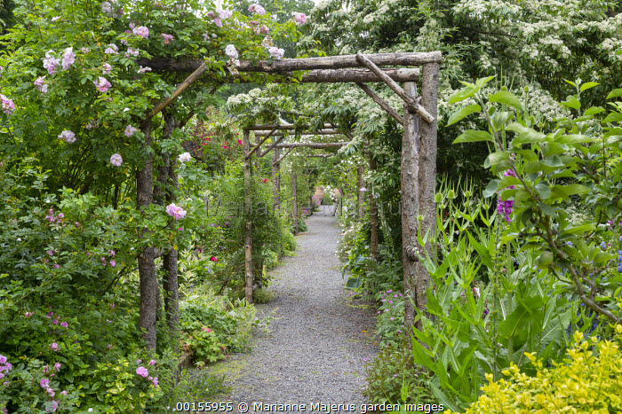 Gravel path under wooden rose arches, Dipsacus fullonum