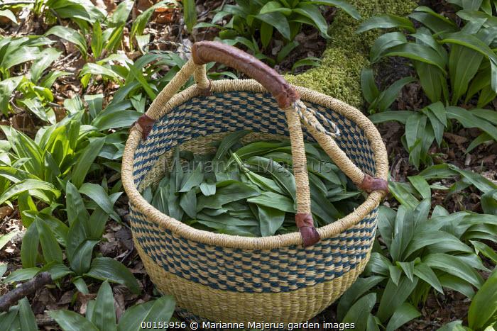 Basket of harvested Wild garlic, Allium ursinum