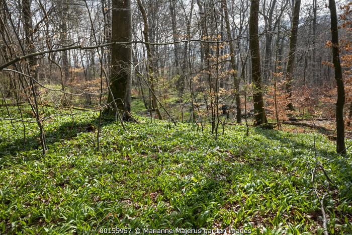 Allium ursinum, Wild garlic, in beech woodland