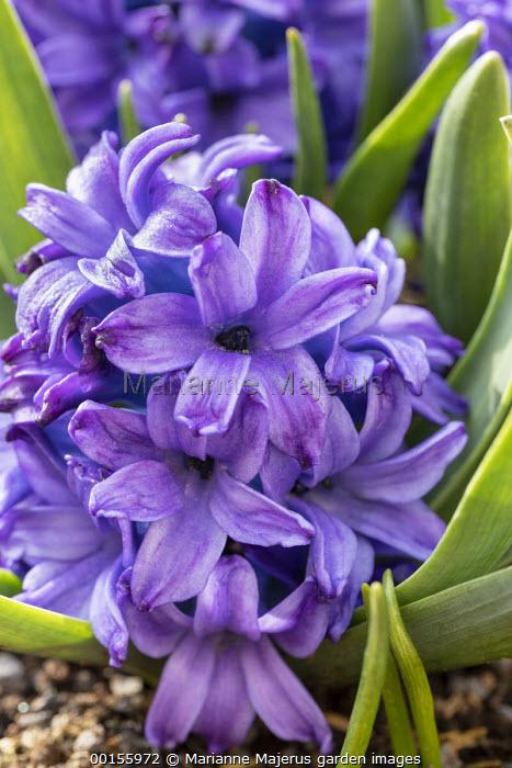 Hyacinthus orientalis 'Blanche Baron'
