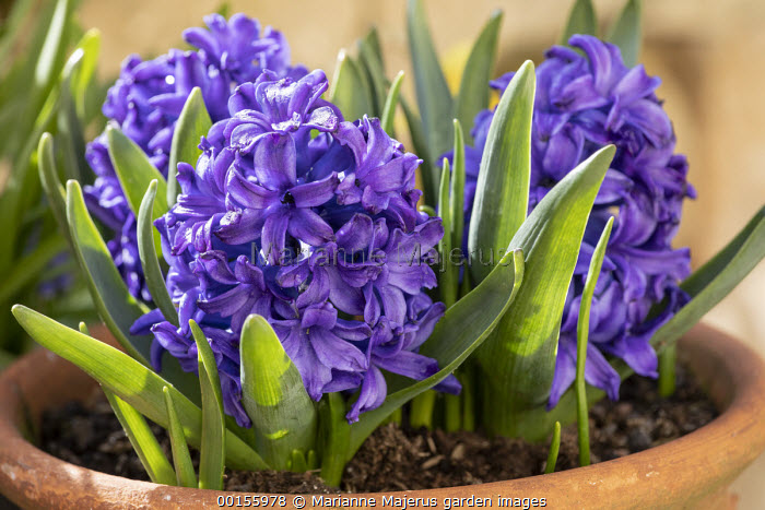 Hyacinthus orientalis 'Blanche Baron' in terracotta pot