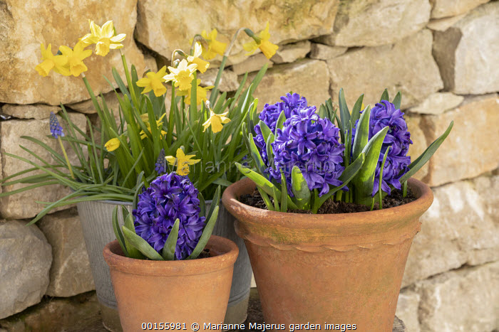 Narcissus 'Tête-à-tête', Muscari armeniacum and Hyacinthus orientalis 'Blanche Baron' in pots on patio