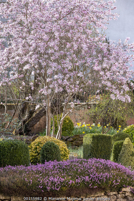 Magnolia x loebneri 'Leonard Messel', clipped Buxus sempervirens and Euonymus fortunei 'Emerald 'n' Gold', carpet of heather, daffodils on stone wall