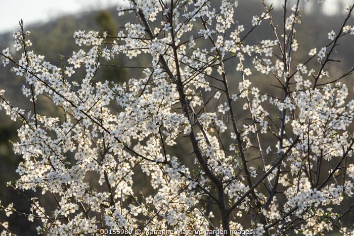 Prunus spinosa blossom