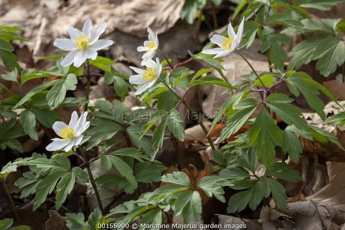 Anemone nemorosa on woodland floor