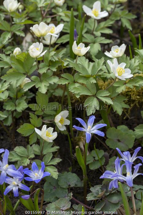 Scilla bifolia, Anemone nemorosa