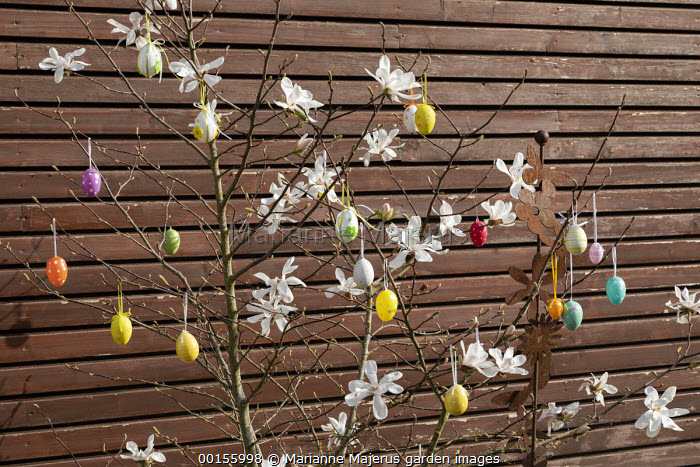 Colourful Easter egg decorations in magnolia tree