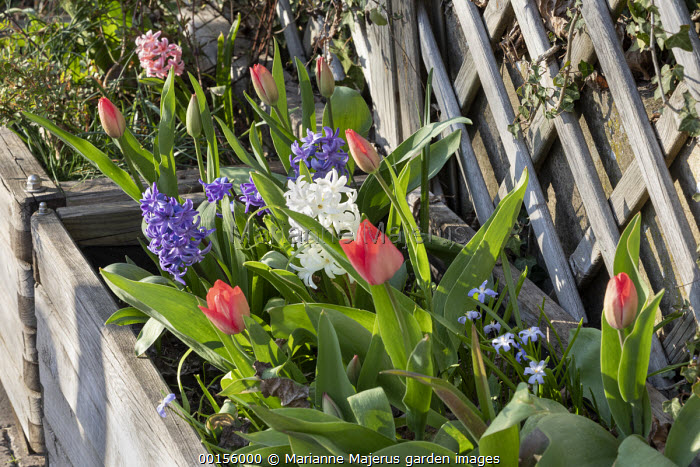 Hyacinthus orientalis, tulips and scilla in wooden box container with trellis