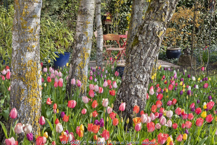 Carpet of colourful mixed tulips around birch trees, table  and chairs on small patio