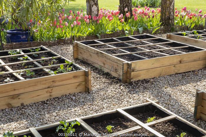 Wooden raised beds with grid system on gravel terrace, strawberries, Batavia lettuce seedlings, tulips