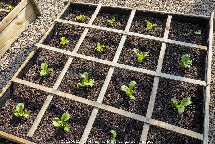 Seedlings of Batavia lettuce in raised bed, grid system