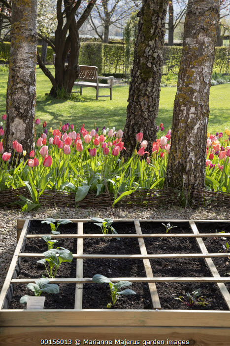 Freshly planted seedlings of Romanesco cauliflower 'Navona' in raised bed, tulips beneath tree, wooden bench
