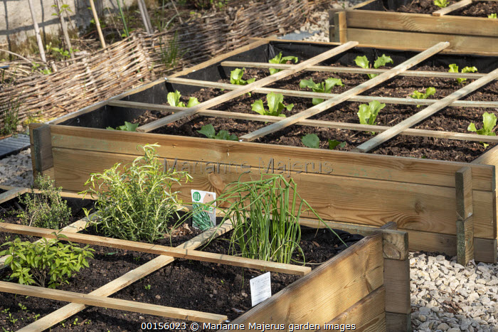 Herbs and Batavia lettuce seedlings in wooden raised beds, grid system
