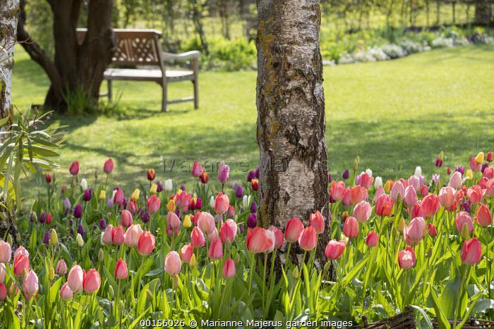 Pink tulips around birch tree, wooden bench on lawn