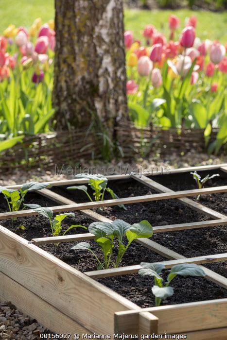 Freshly planted seedlings of Romanesco cauliflower 'Navona', raised bed, tulips