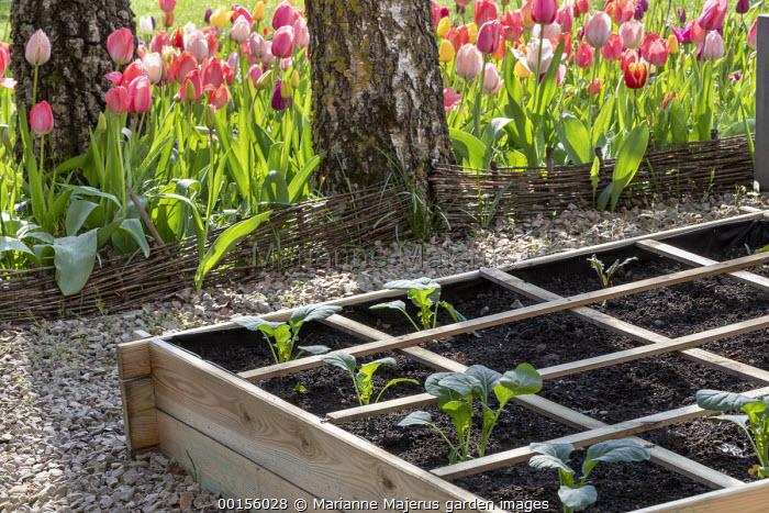 Freshly planted seedlings of Romanesco cauliflower 'Navona', raised bed, tulips, willow hurdle edging