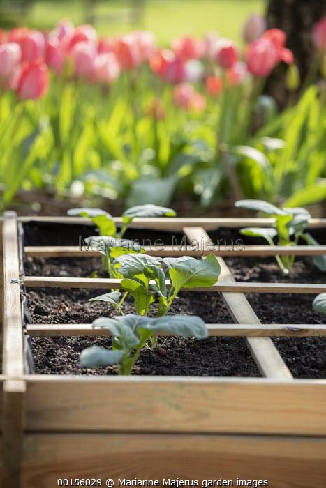 Freshly planted seedlings of Romanesco cauliflower 'Navona' in wooden raised bed, tulips