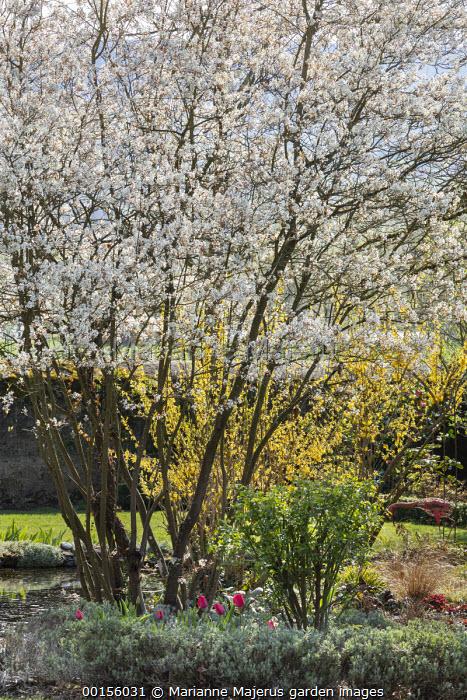 Amelanchier lamarckii by pond, forsythia, lavender, tulips