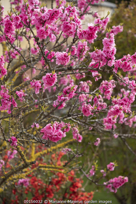 Prunus triloba and Chaenomeles x superba