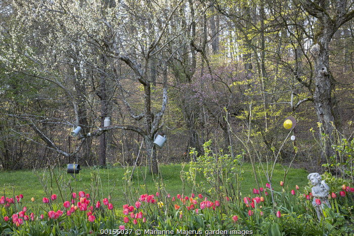Tulipa 'Parade', old metal watering cans hanging in tree
