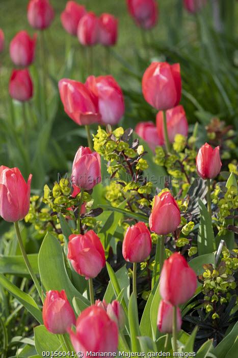 Tulipa 'Parade', Euphorbia amygdaloides