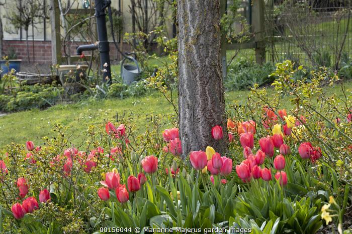 Tulipa 'Parade' in border, rose foliage