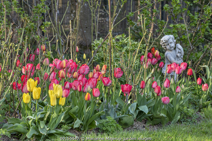 Tulipa 'Parade' amongst roses