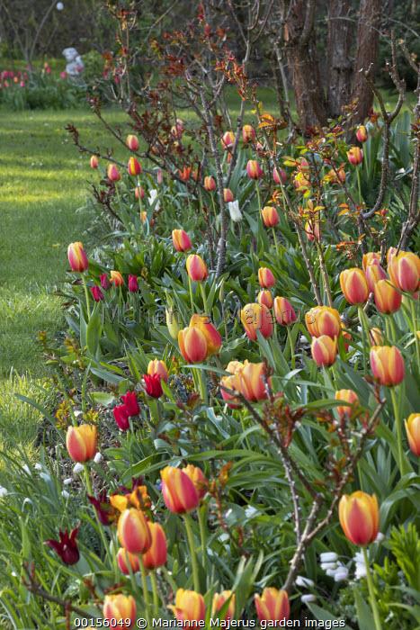 Tulipa 'World Peace', new rose foliage
