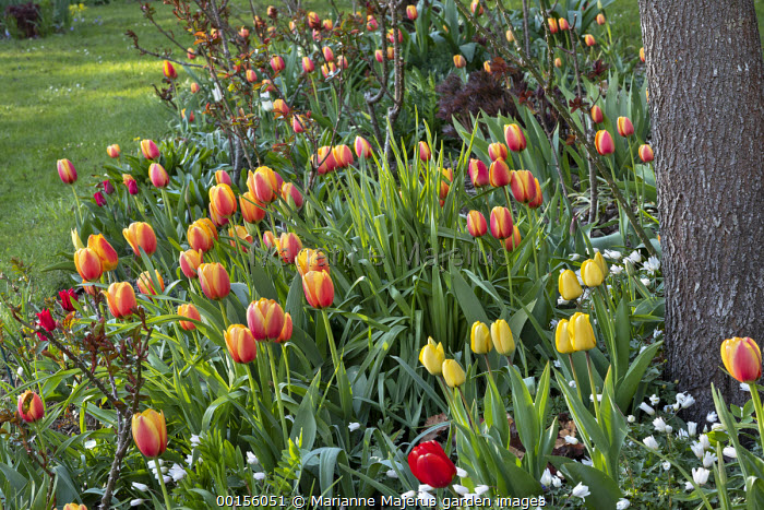 Tulipa 'World Peace', new rose foliage, Anemone blanda