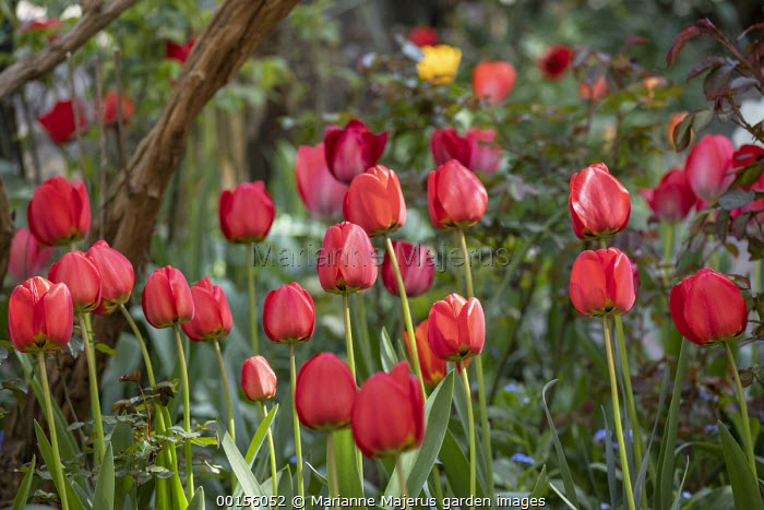 Tulipa 'Cassini' and 'Red Triumph', Golden and Red Apeldoorn Darwin Hybrid Tulips
