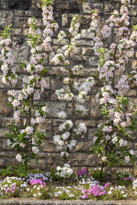 Apple cordons against wall underplanted with phlox