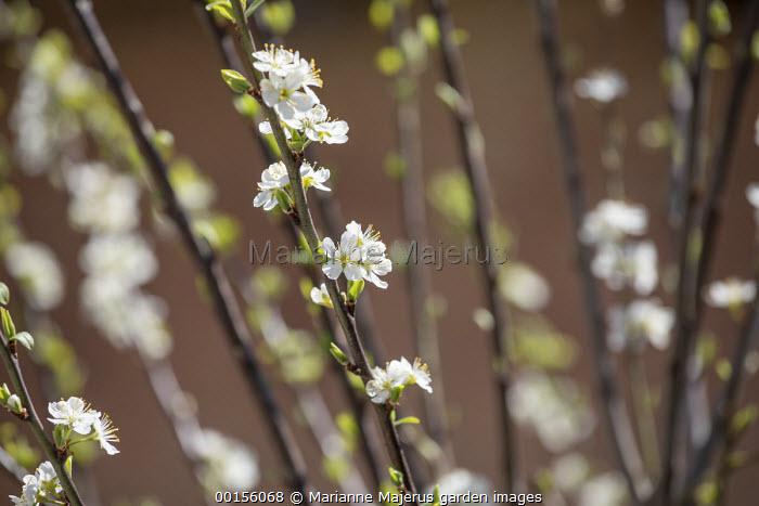Prunus insititia 'Mirabelle de Nancy', plum blossom