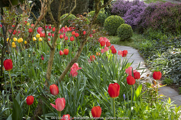 Drift of tulips by stone path, Tulipa 'Cassini' and 'Red Triumph', Golden and Red Apeldoorn Darwin Hybrid Tulips, clipped Buxus sempervirens balls