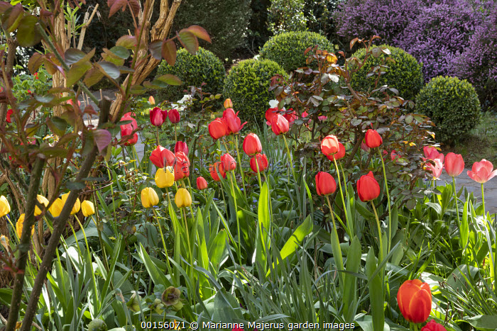 Tulipa 'Cassini' and 'Red Triumph', Golden and Red Apeldoorn Darwin Hybrid Tulips, clipped Buxus sempervirens balls, rose foliage