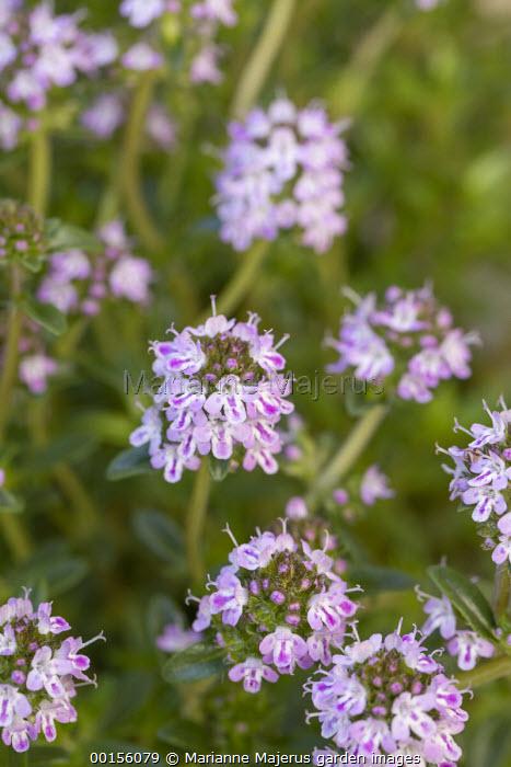 Summer savory, Satureja hortensis