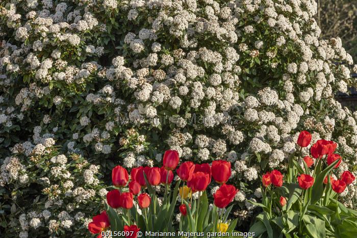 Viburnum tinus underplanted with red tulips