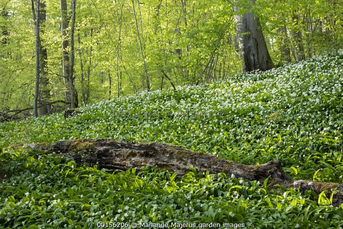 Carpet of Allium ursinum in woodland, moss on fallen tree