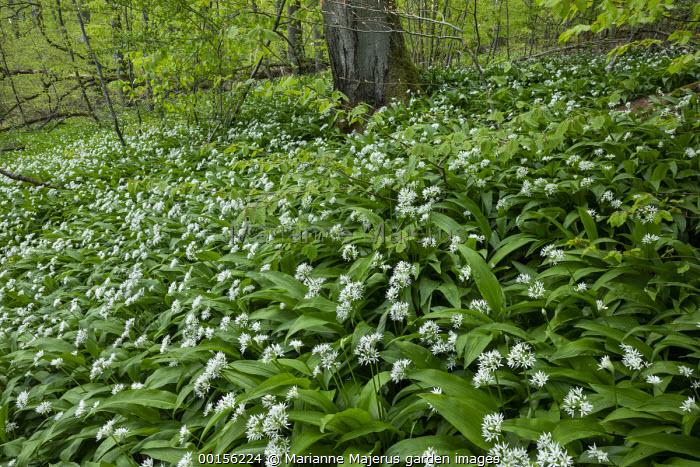 Carpet of Allium ursinum in woodland