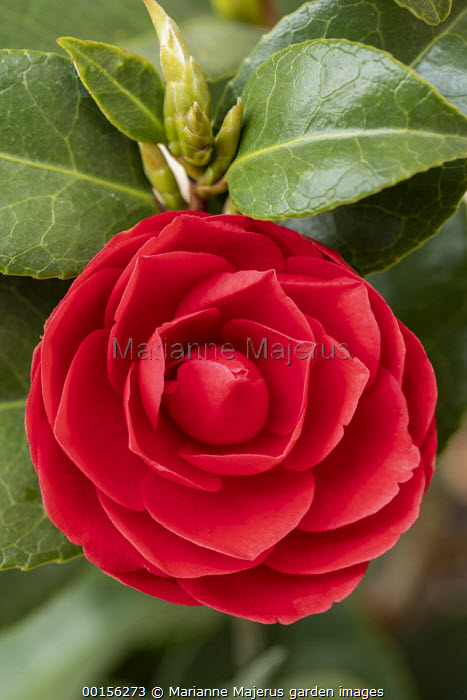 Camellia x williamsii 'Black Lace' syn. Camellia japonica 'Black Lace'