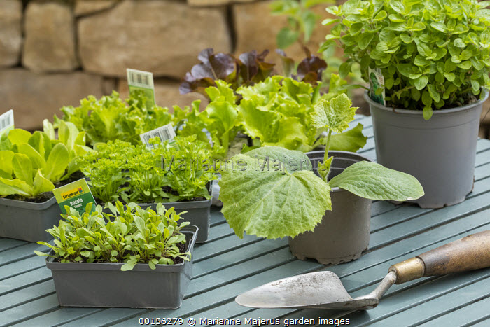 Courgette, rocket and lettuces in pots and seedtrays on table, trowel, potting bench